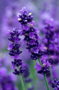 EssentialOilsShop.net-Lavender-essential-oils-1